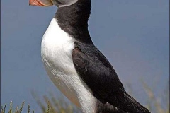 K800_1_proud_as_a_puffin_470x470
