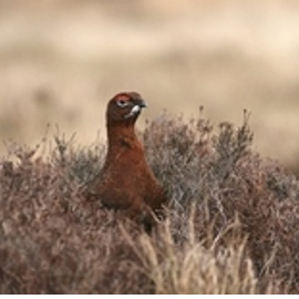 redgrouse3